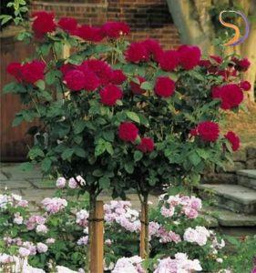 los dos rosales